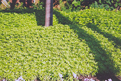 Sweet Woodruff (Galium odoratum) at Ashcombe Farm & Greenhouses