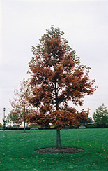 Swamp White Oak (Quercus bicolor) at Ashcombe Farm & Greenhouses