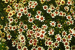 Snowberry Tickseed (Coreopsis 'Snowberry') at Ashcombe Farm & Greenhouses