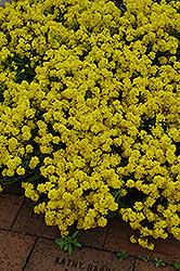 Gold Dust Basket Of Gold (Aurinia saxatilis 'Compacta') at Ashcombe Farm & Greenhouses