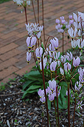 Shooting Star (Dodecatheon meadia) at Ashcombe Farm & Greenhouses