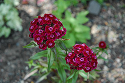 Sweet William (Dianthus barbatus) at Ashcombe Farm & Greenhouses