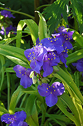 Sweet Kate Spiderwort (Tradescantia x andersoniana 'Sweet Kate') at Ashcombe Farm & Greenhouses