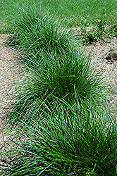 Tufted Hair Grass (Deschampsia cespitosa) at Ashcombe Farm & Greenhouses