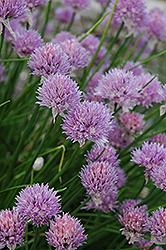 Chives (Allium schoenoprasum) at Ashcombe Farm & Greenhouses