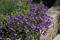 Blue Clips Bellflower (Campanula carpatica 'Blue Clips') at Ashcombe Farm & Greenhouses