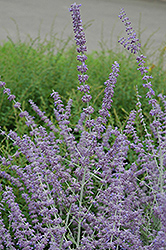 Russian Sage (Perovskia atriplicifolia) at Ashcombe Farm & Greenhouses