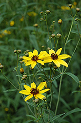 Tall Tickseed (Coreopsis tripteris) at Ashcombe Farm & Greenhouses