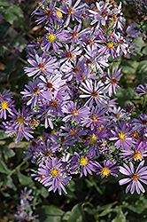 Bluebird Aster (Aster laevis 'Bluebird') at Ashcombe Farm & Greenhouses