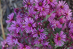 Woods Pink Aster (Aster 'Woods Pink') at Ashcombe Farm & Greenhouses