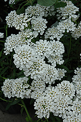 Alexander White Candytuft (Iberis sempervirens 'Alexander White') at Ashcombe Farm & Greenhouses