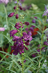 Pike's Peak Purple Beard Tongue (Penstemon x mexicali 'Pike's Peak Purple') at Ashcombe Farm & Greenhouses