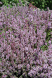 Mother-of-Thyme (Thymus praecox) at Ashcombe Farm & Greenhouses