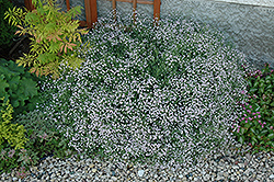 Common Baby's Breath (Gypsophila paniculata) at Ashcombe Farm & Greenhouses