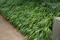 Japanese Woodland Grass (Hakonechloa macra) at Ashcombe Farm & Greenhouses