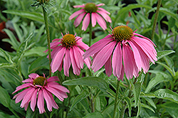 Kim's Knee High Coneflower (Echinacea 'Kim's Knee High') at Ashcombe Farm & Greenhouses