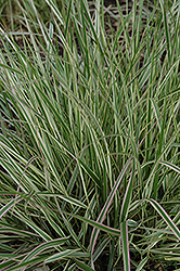 Variegated Reed Grass (Calamagrostis x acutiflora 'Overdam') at Ashcombe Farm & Greenhouses