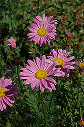 Robinson's Pink Painted Daisy (Tanacetum coccineum 'Robinson's Pink') at Ashcombe Farm & Greenhouses