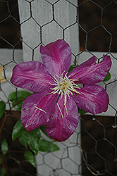 Sunset Clematis (Clematis 'Sunset') at Ashcombe Farm & Greenhouses