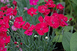 Neon Star Pinks (Dianthus 'Neon Star') at Ashcombe Farm & Greenhouses