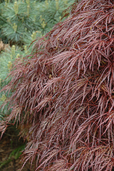 Red Select Cutleaf Japanese Maple (Acer palmatum 'Dissectum Red Select') at Ashcombe Farm & Greenhouses