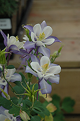Origami Blue And White Columbine (Aquilegia 'Origami Blue And White') at Ashcombe Farm & Greenhouses