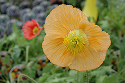 Champagne Bubbles Poppy (Papaver nudicaule 'Champagne Bubbles') at Ashcombe Farm & Greenhouses
