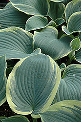 American Halo Hosta (Hosta 'American Halo') at Ashcombe Farm & Greenhouses