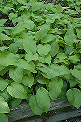 Plantain Lily (Hosta plantaginea) at Ashcombe Farm & Greenhouses