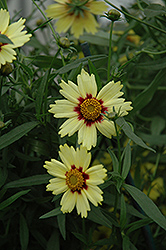 Red Shift Tickseed (Coreopsis 'Red Shift') at Ashcombe Farm & Greenhouses