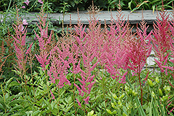 Visions in Pink Chinese Astilbe (Astilbe chinensis 'Visions in Pink') at Ashcombe Farm & Greenhouses