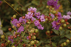 Violet Filli Crapemyrtle (Lagerstroemia indica 'Violet Filli') at Ashcombe Farm & Greenhouses