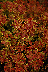 Admiration Japanese Barberry (Berberis thunbergii 'Admiration') at Ashcombe Farm & Greenhouses