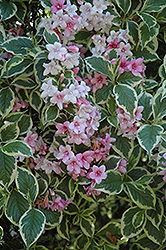 Variegated Weigela (Weigela florida 'Variegata') at Ashcombe Farm & Greenhouses