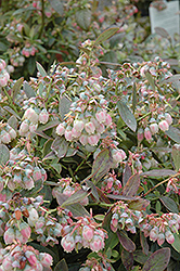 Legacy Blueberry (Vaccinium corymbosum 'Legacy') at Ashcombe Farm & Greenhouses