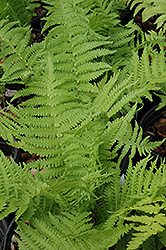 The King Ostrich Fern (Matteuccia 'The King') at Ashcombe Farm & Greenhouses