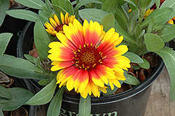 Gallo Dark Bicolor Blanket Flower (Gaillardia x grandiflora 'Gallo Dark Bicolor') at Ashcombe Farm & Greenhouses