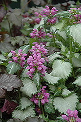 Ghost Spotted Dead Nettle (Lamium maculatum 'Ghost') at Ashcombe Farm & Greenhouses