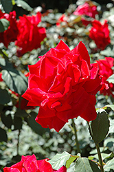 Chrysler Imperial Rose (Rosa 'Chrysler Imperial') at Ashcombe Farm & Greenhouses