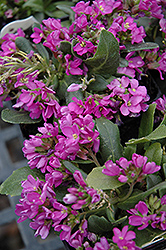 Spring Charm Rock Cress (Arabis 'Spring Charm') at Ashcombe Farm & Greenhouses