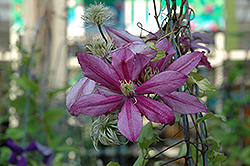 Liberation Clematis (Clematis 'Liberation') at Ashcombe Farm & Greenhouses