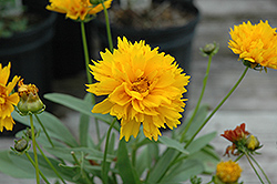 Sunray Tickseed (Coreopsis grandiflora 'Sunray') at Ashcombe Farm & Greenhouses