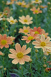 Sienna Sunset Tickseed (Coreopsis 'Sienna Sunset') at Ashcombe Farm & Greenhouses