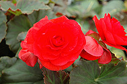 Solenia Red Begonia (Begonia 'Solenia Red') at Ashcombe Farm & Greenhouses