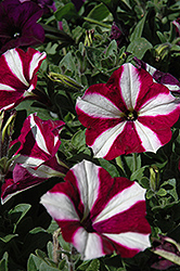 Easy Wave Burgundy Star Petunia (Petunia 'Easy Wave Burgundy Star') at Ashcombe Farm & Greenhouses