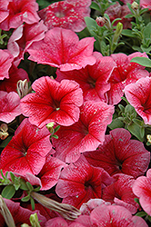 Madness Summer Petunia (Petunia 'Madness Summer') at Ashcombe Farm & Greenhouses