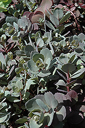 Dazzleberry Stonecrop (Sedum 'Dazzleberry') at Ashcombe Farm & Greenhouses