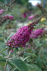 Miss Ruby Butterfly Bush (Buddleia davidii 'Miss Ruby') at Ashcombe Farm & Greenhouses