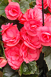 Dragone Dusty Rose Begonia (Begonia 'Dragone Dusty Rose') at Ashcombe Farm & Greenhouses