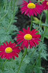Robinson's Red Painted Daisy (Tanacetum coccineum 'Robinson's Red') at Ashcombe Farm & Greenhouses